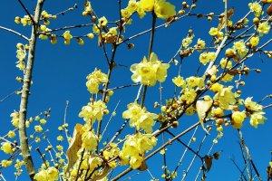 Wintersweet (Robai) at the Hodosan Wintersweet Garden, Nagatoro