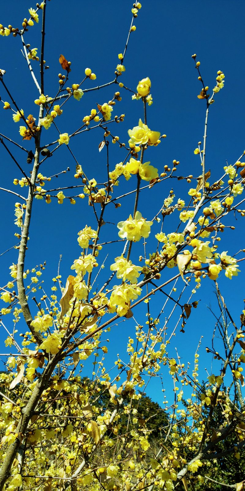 Wintersweet (Robai) at the Hodosan Wintersweet Garden, Nagatoro