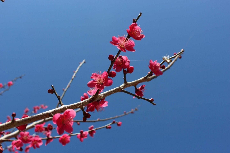 Plum blossoms on Mt Hodo