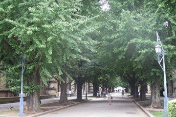 东京大学银杏大道