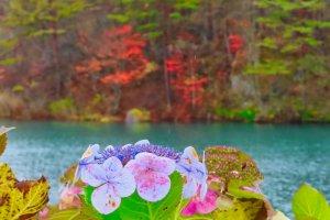 Hydrangea still in bloom at  Bishamonnuma Pond