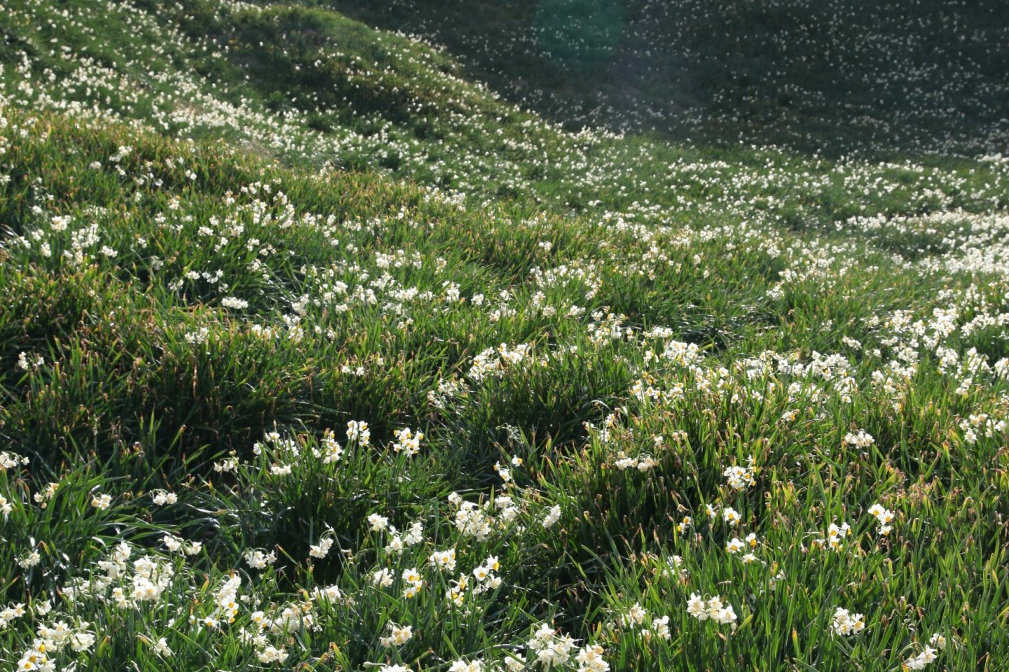Over 3 million narcissus flowers cover the Suzaki Peninsula