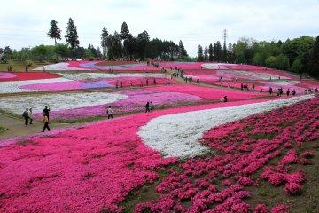 5 Spectacular Shibazakura Spots in Japan