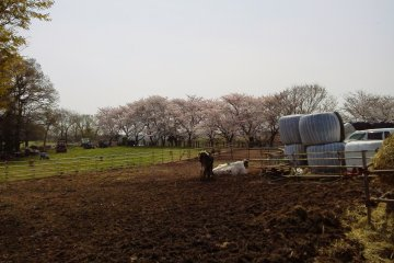 There are dozens of mature cherry blossoms at the farm.