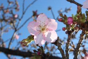 A Kawazu cherry blossom in Saitama Prefecture.