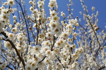 Odawara Plum Walk
