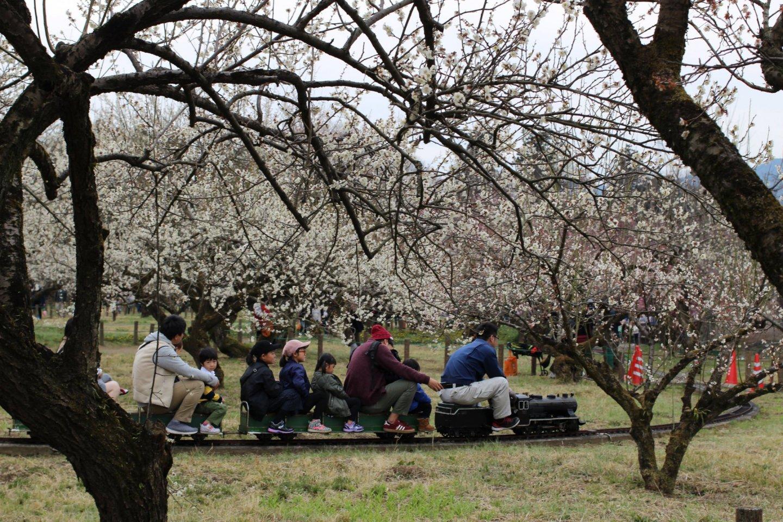 A mini train through the plum blossoms