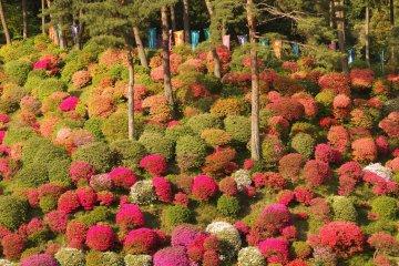 Step into a fluffy, colorful world of azalea bushes