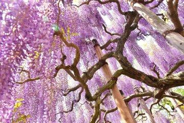 Vibrant purple wisteria are a delight at the Ashikaga Flower Park