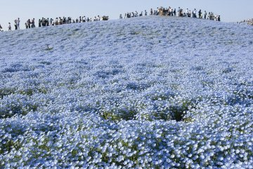 A sea of blue!