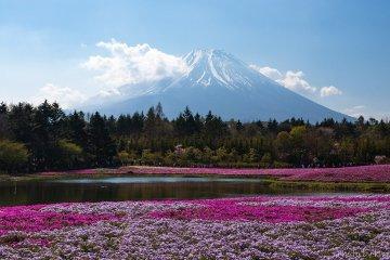 Great views at the Fuji Shibazakura Festival