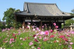 Cheerful cosmos at Nara's Hannyaji Temple