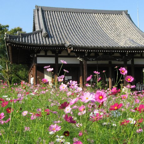 Cosmos at Hannyaji Temple