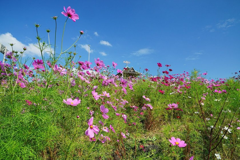 Around 100,000 cosmos flowers are on display at the Kobe Sports Park