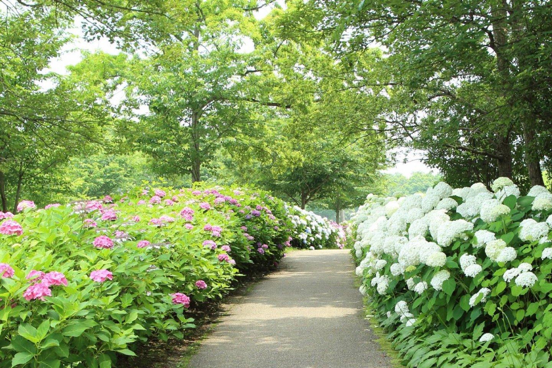 200,000 hydrangea plants adorn the grounds of Kagawa\'s Sanuki Mannou Park during rainy season