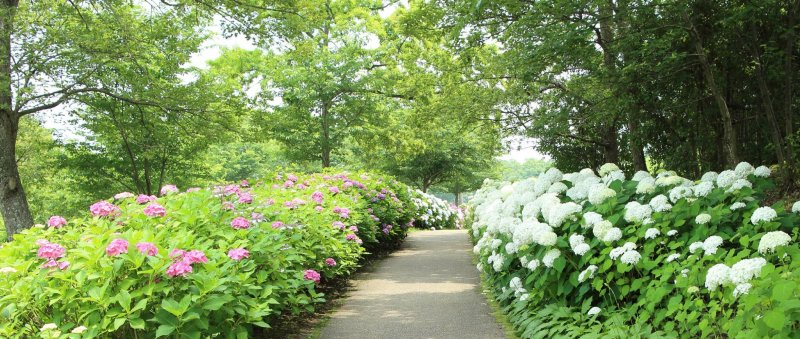 200,000 hydrangea plants adorn the grounds of Kagawa's Sanuki Mannou Park during rainy season