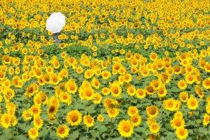 The Akeno Sunflower Field