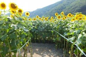 A sunflower maze at the Nanko Sunflower Fields