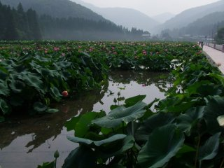 The lotus ponds stretch out over the valley