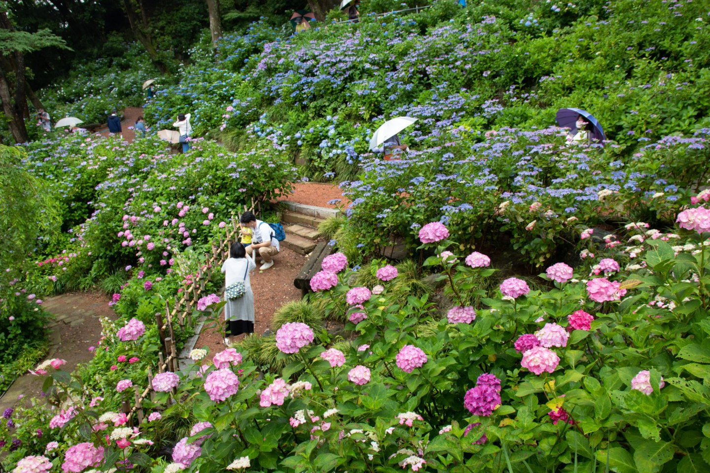 Around 10,000 hydrangeas in 70 varieties are found on the temple grounds here