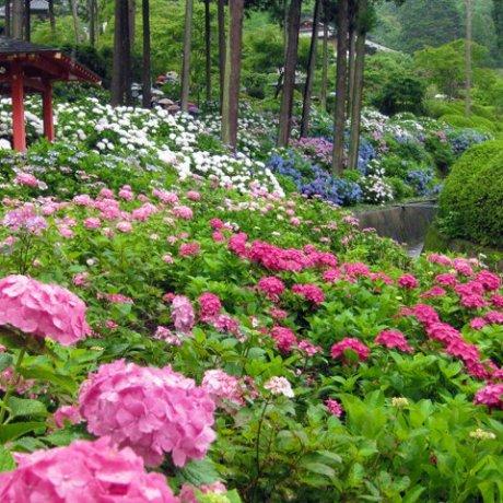 Hydrangea Season at Mimuroto-ji Temple