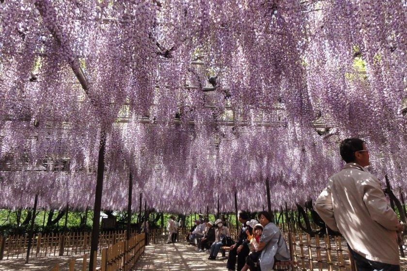 Spectacular wisteria at Okazaki Park