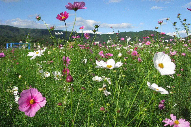 Colorful cosmos flowers in Okayama