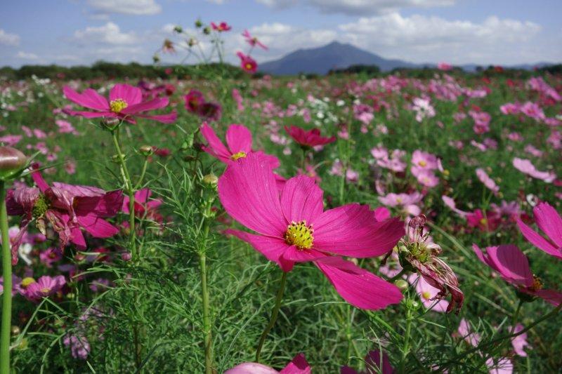 Cosmos with a backdrop of Mt. Tsukuba
