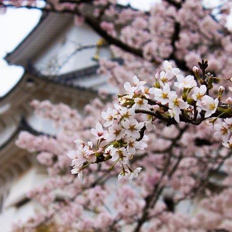 2021 Sakura Forecast