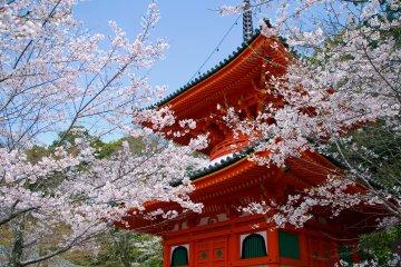 Kimiidera Temple Sakura Festival