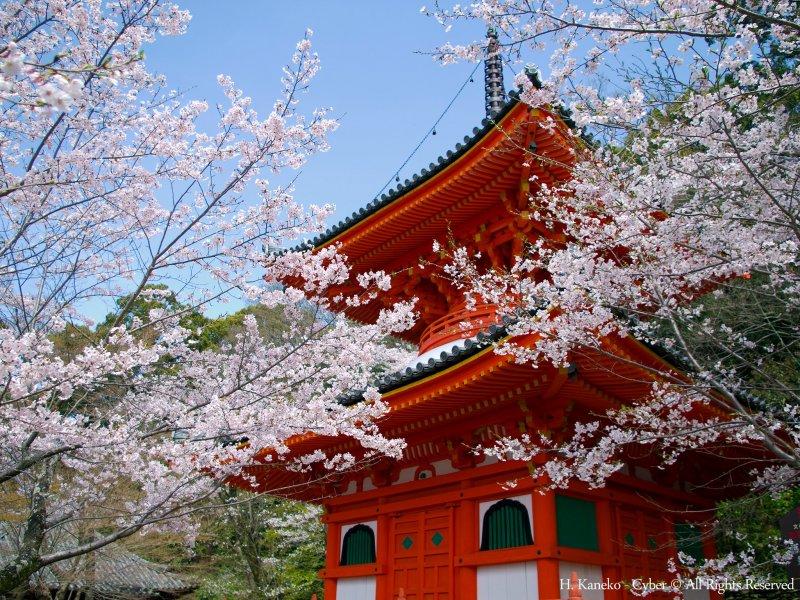 Beautiful sakura at Kimiidera Temple