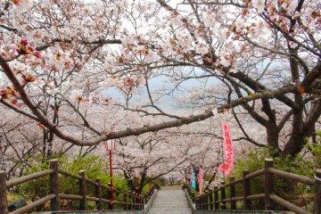 Oboshi Park Cherry Blossom Festival