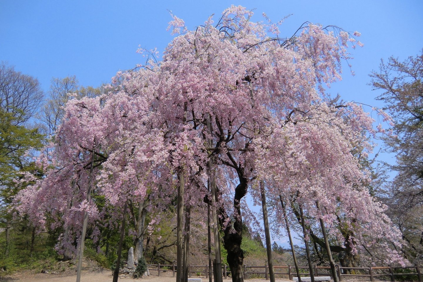 One of the weeping cherry trees at Kannonyama Park