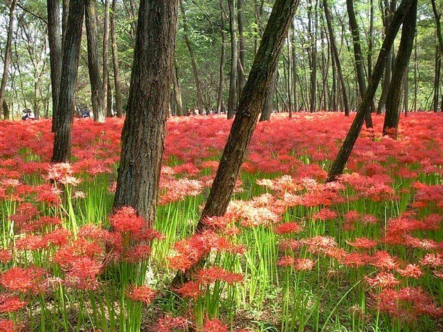 <p>Spider lily paradise</p>