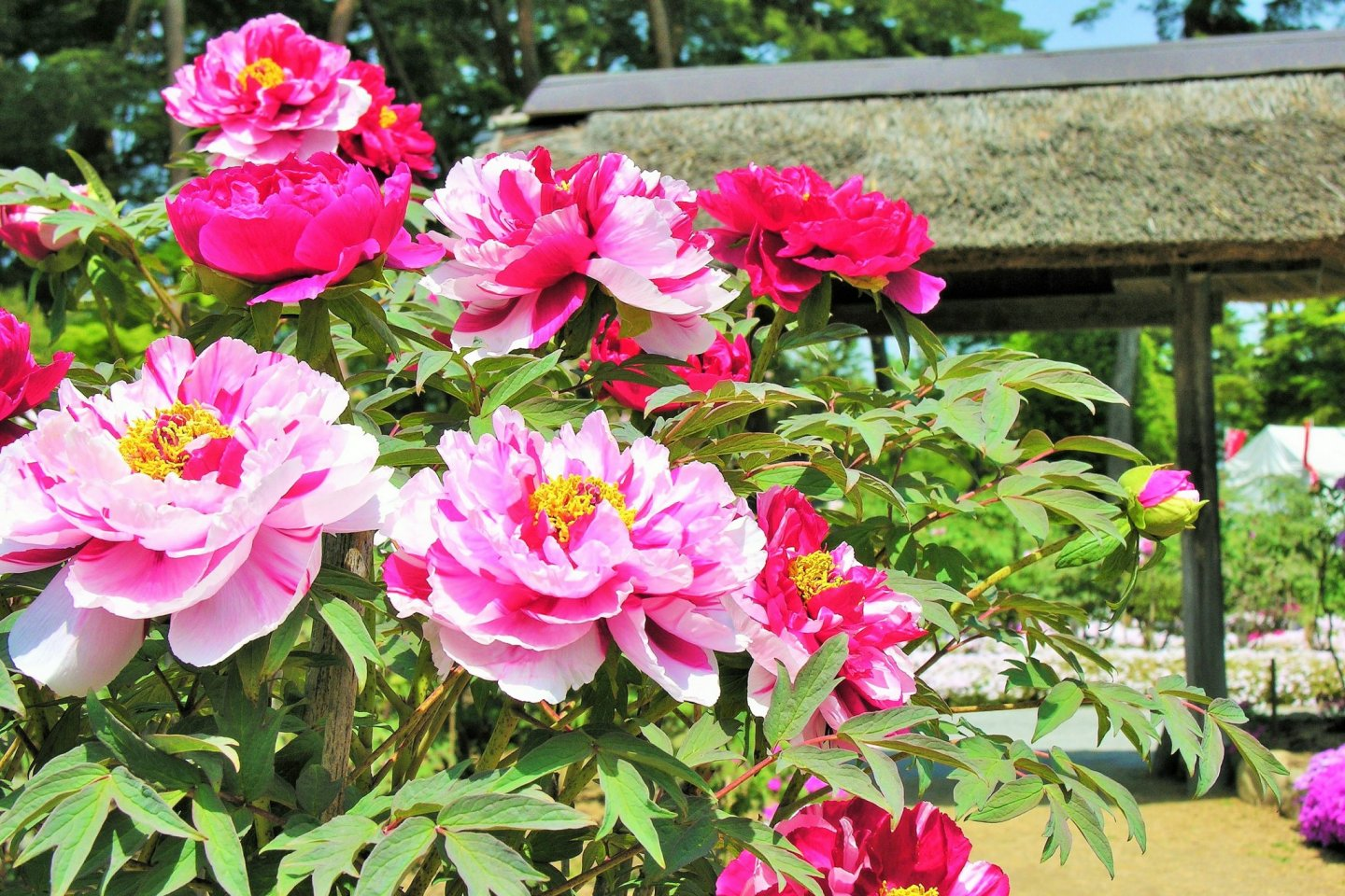 Flowers in bloom at the Sukagawa Peony Garden
