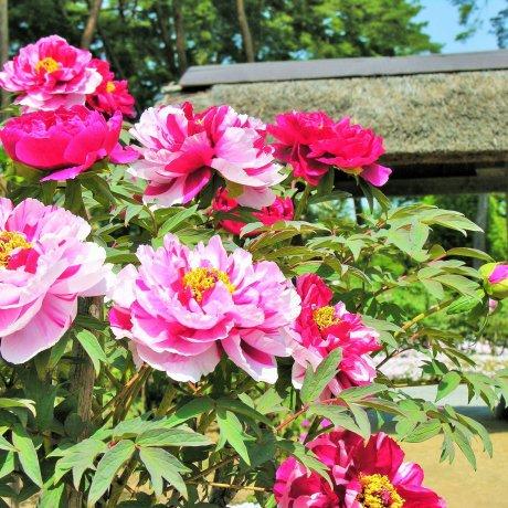 Peony Season at the Sukagawa Peony Garden