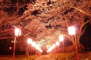 Night view of the Mamurogawa Plum Festival