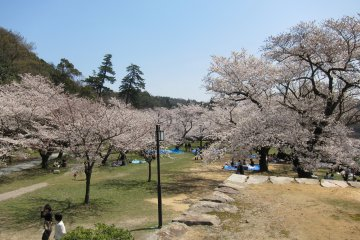 Sakura Season at Tottori's Kyusho Park