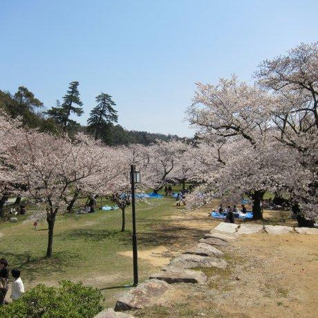 Sakura Season at Tottori's Kyusho Park