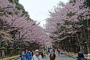Sakura along a along a promenade in Maruyama Park, just in front of Hokkaido Shrine.