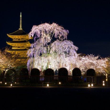 Sakura Illumination at Toji Temple