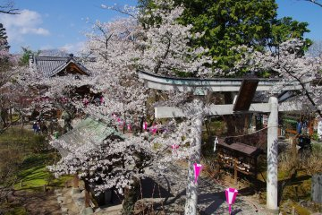 Sakura Season at Komoro Castle Park