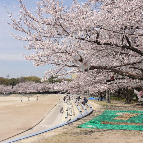 Sakura Season at Tsuruma Park