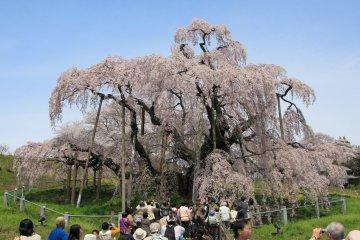 Fukushima's Miharu Takizakura