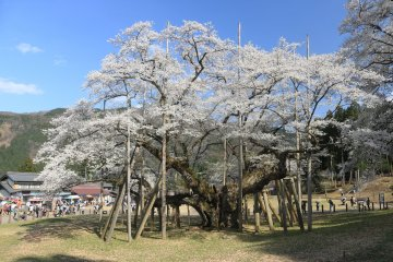 Usuzumi Sakura, Gifu