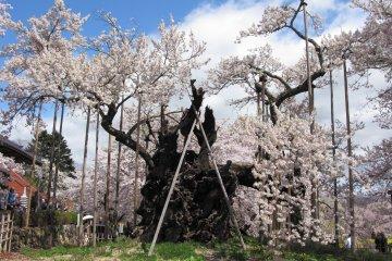 Yamataka Jindai Sakura, Yamanashi