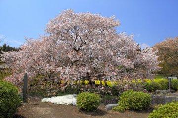 Shimouma Sakura in Shizuoka