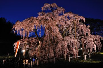 Japan's Five Great Cherry Blossoms