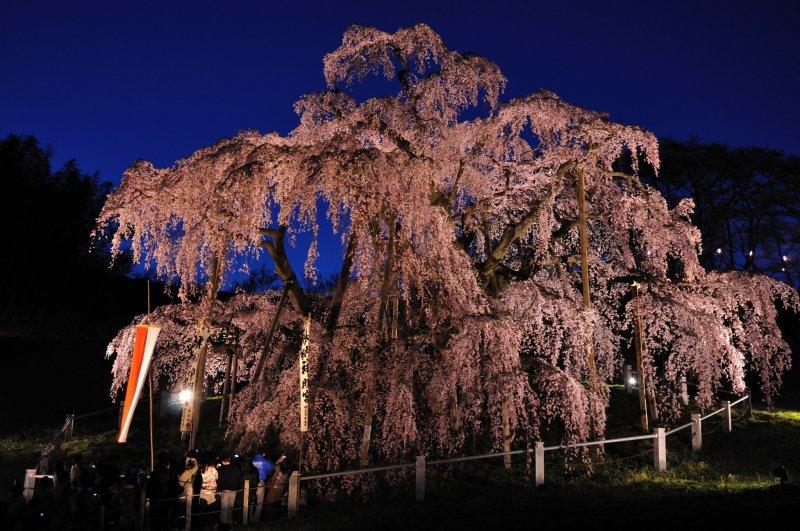 Illuminated Miharu Takizakura