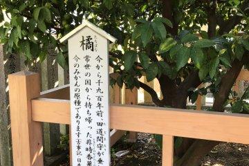 An ancestor of the original Tachibana tree